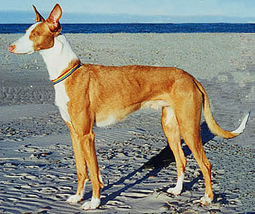 A Canadian born Ibizan Hound on a Danish beach!